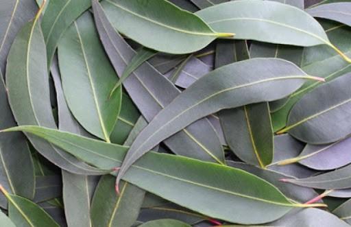 cuales son las propiedades del eucalipto